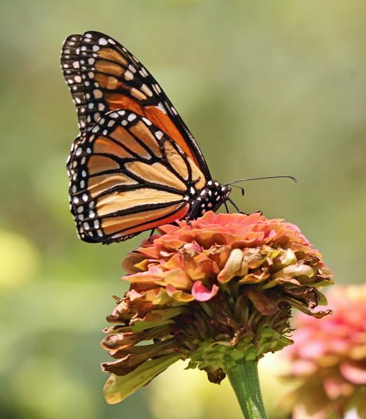 Monarch 31