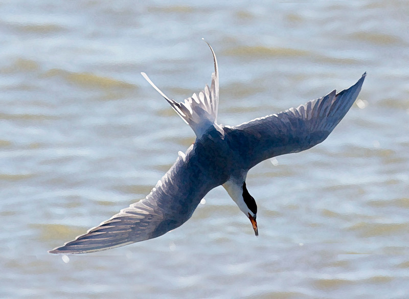 A Common Tern dives for fish (dry brush).