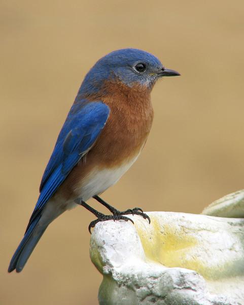 bluebird_3253.jpg