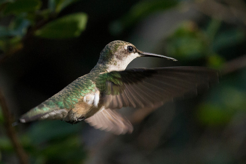 hummingbirdinflight6.jpg