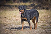 Good looking rottweiler dog standing in a grassy field. Photography fine art photo prints print photos photograph photographs image images artwork.