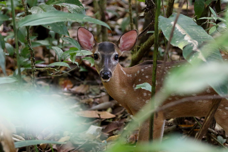 White-tailed Deer fawn.jpg