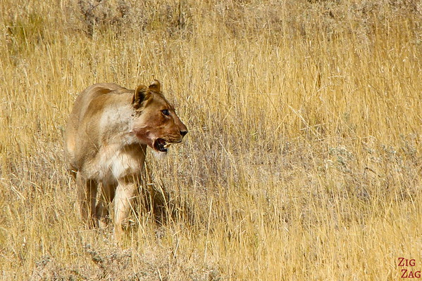 Getting close to lions, Etosha Namibia