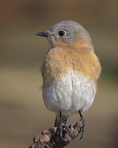 sx50_bluebird_boas_138.jpg
