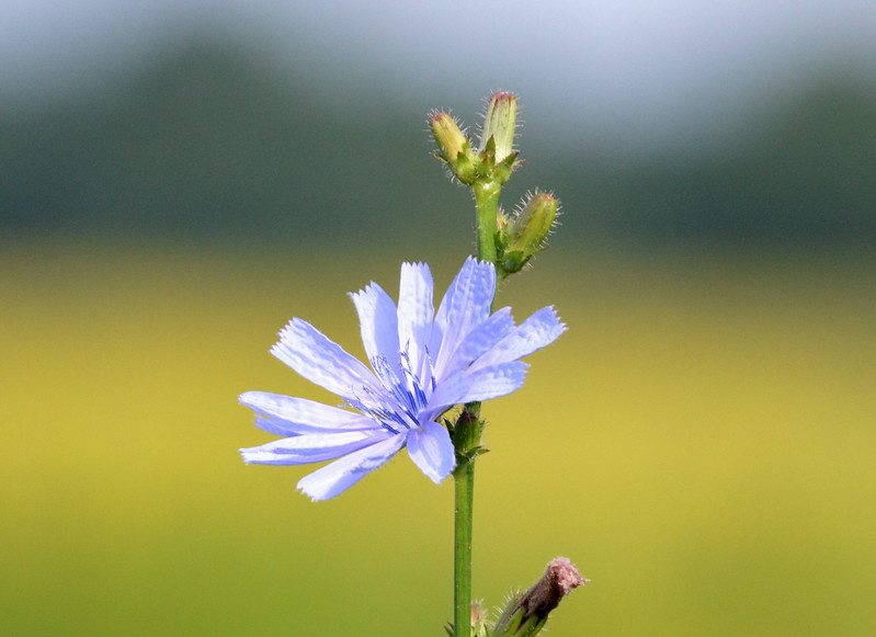 Chickory-single-flower-july2015.jpg