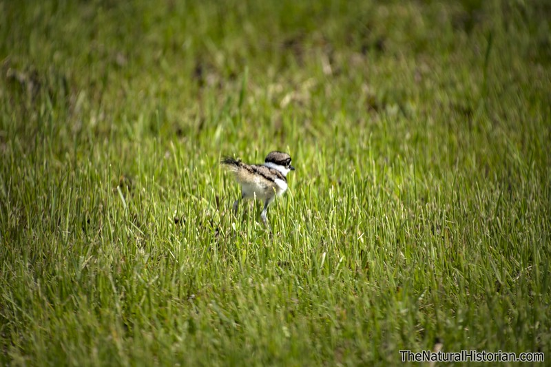 Killdeer-hatchling-runningingrass.jpg