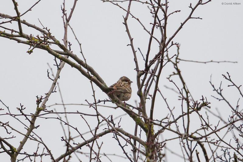 Pine Bunting - Dunnington, Yorkshire 10/03/17