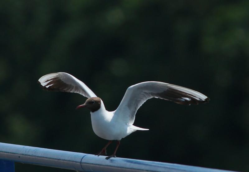 Black-headed Gull Netherlands 2014 06 26-1.JPG