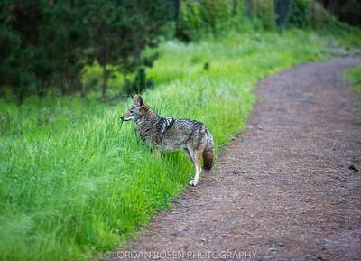 Presidio Coyotes