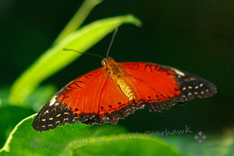 Butterfly Orange.jpg