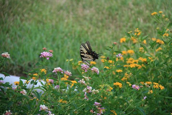 Butterfllies