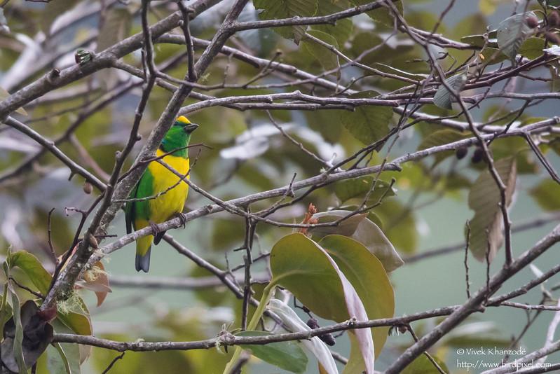 Golden-browed Chlorophonia - Record - Cabanas Los Quetzales, Guadalupe, Panama