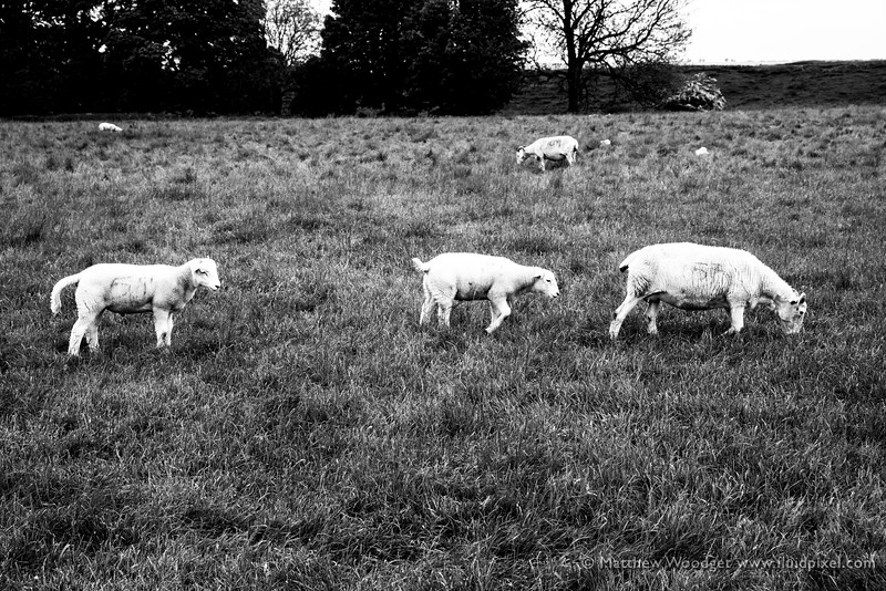 Woodget-140529-0728--black and white, farming, sheep - livestock.jpg