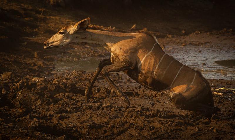 Kudu stuggle to escape 5