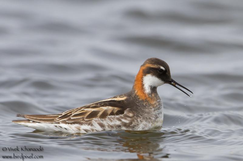 Red-necked Phalarope - Nome, AK, USA