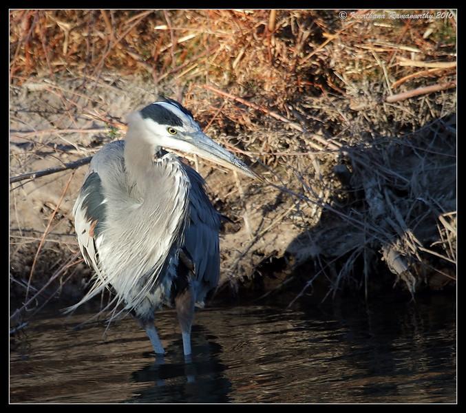 Great Blue Heron, Bosque Del Apache, Socorro, New Mexico, November 2010