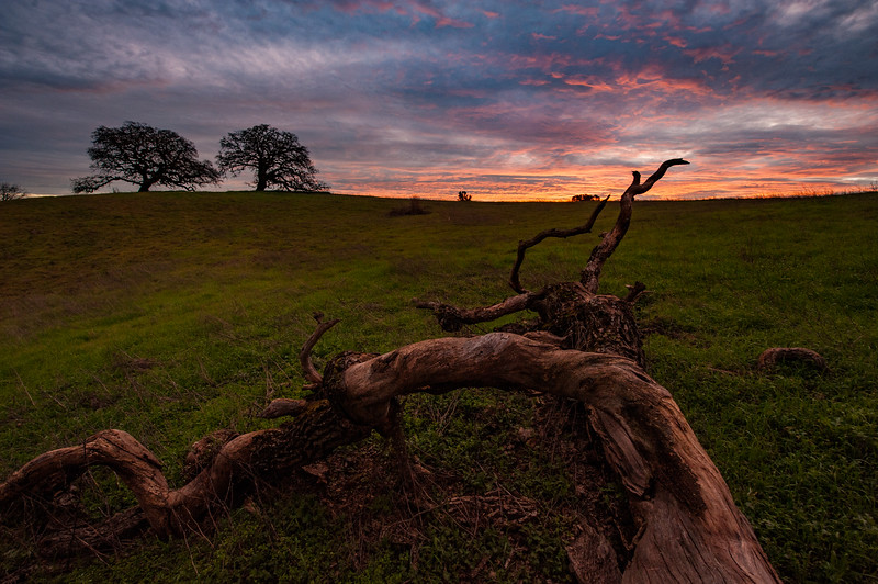 Sunrise over the roots of an oak tree
