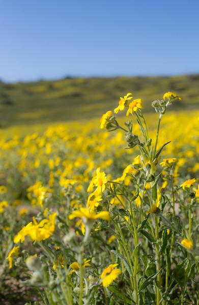 yellow fleurs bloom.jpg