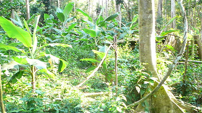 Cameroon Cocoa Farm