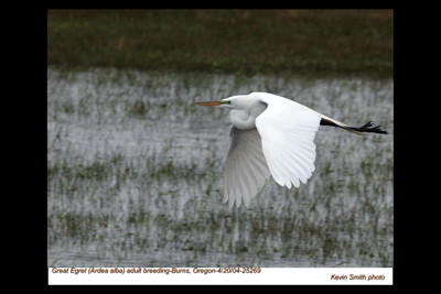 GreatEgret25269.jpg