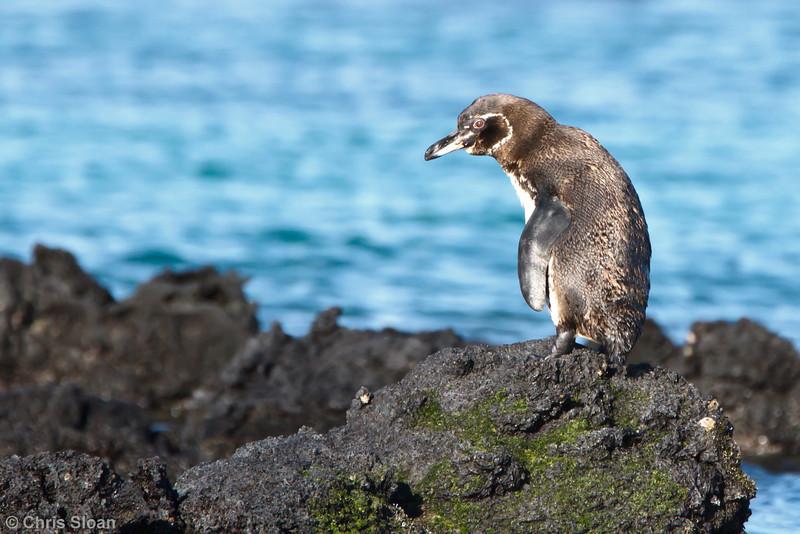 Galapagos Penguin at Elizabeth Bay, Isabela, Galapagos, Ecuador (11-23-2011) - 773.jpg