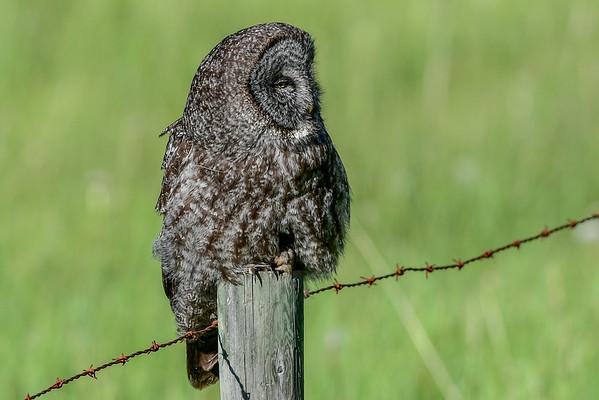 6-12-16 Great Gray Owl Pr