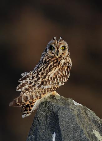 Jordugle -  Short-eared Owl