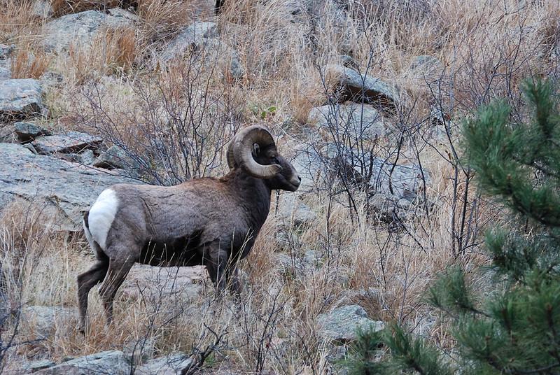 Bighorn Sheep 12062008 146.jpg