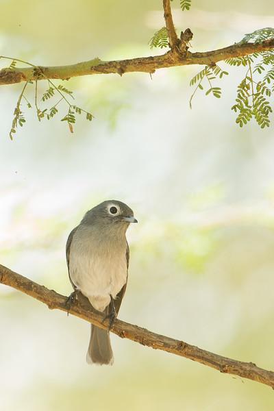 White-eyed Slaty Flycatcher - Lake Nakuru Naional Park, Kenya