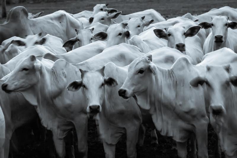 Brahma herd.jpg