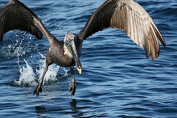 PELICANIDAE Pelicans