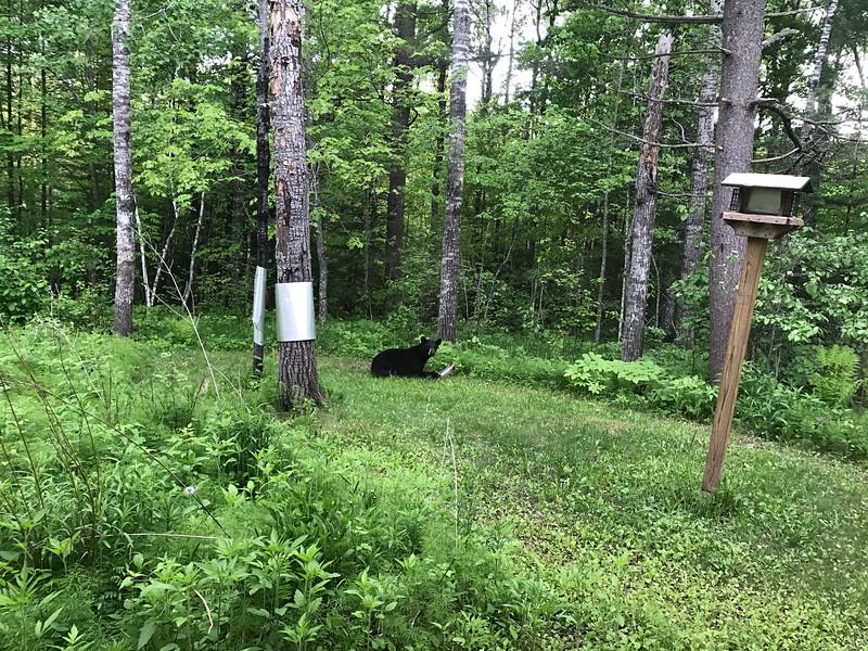Black Bear at Skogstjarna Carlton County MNIMG_5620.jpg