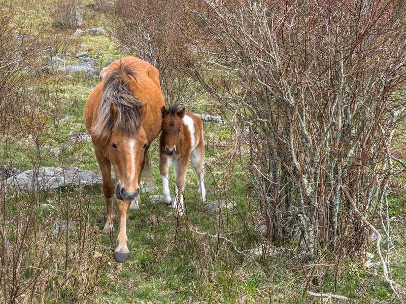 148 Apr 28 Mare and Foal at GH x-1.jpg