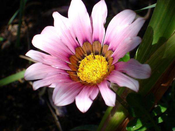 Desert Flowers in Dr. Weil's Garden