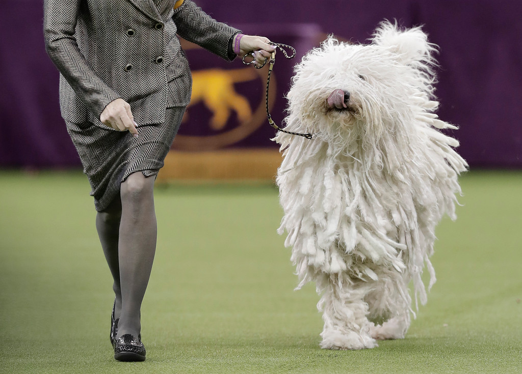 . A Komondor struts around the ring during the working group competition at the 141st Westminster Kennel Club Dog Show, Tuesday, Feb. 14, 2017, in New York. (AP Photo/Julie Jacobson)