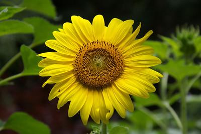 Sunflowers -Summer 2013