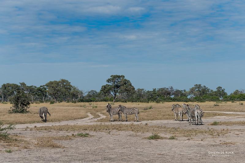 Burchell's Zebra, Savuti, Chobe NP, Botswana, May 2017-3.jpg
