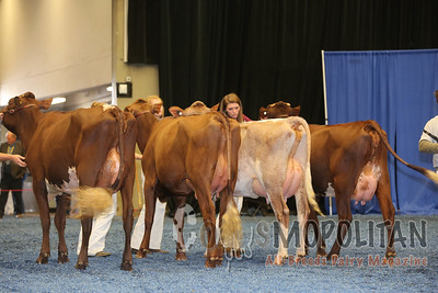 WDE Milking Shorthorn Cows 15