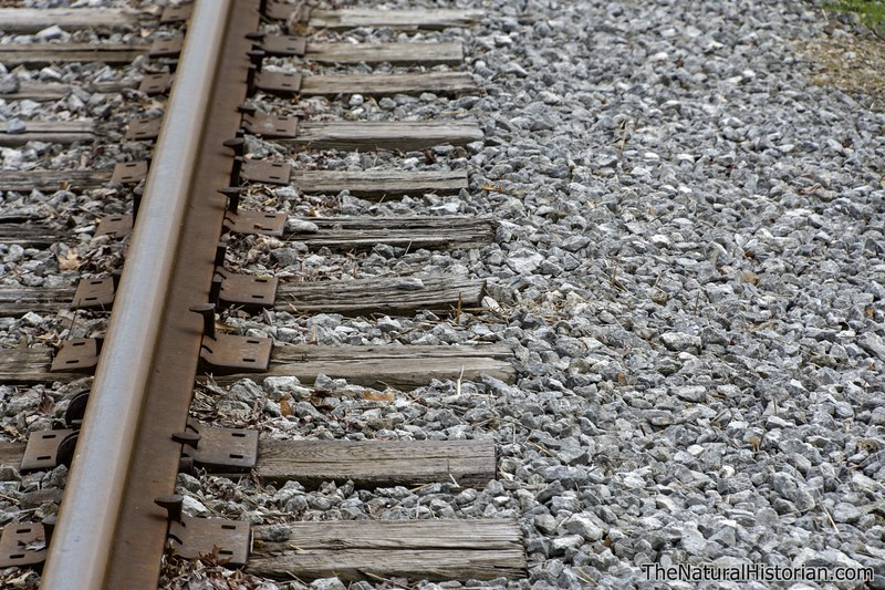 Killdeer-eggs-nest-railroad-tracks7-Canton.jpg