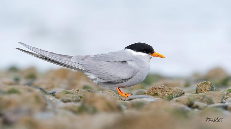 Black-fronted Tern, Christchurch, SI, NZ, Sep 2018-1.jpg