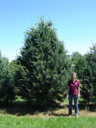 Specimen Evergreens