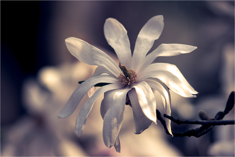 20120323_magnolia_07.png