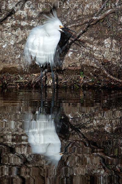 Snowy Egret Newark, California 1304N-SE25
