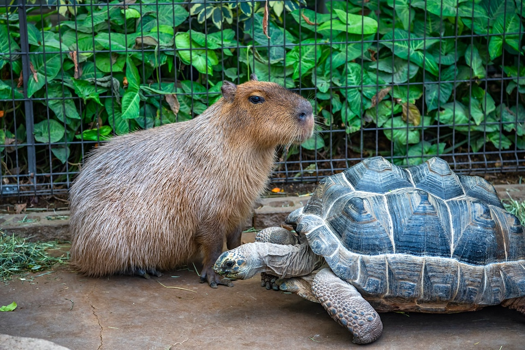 Capybara and giant turtle in the Animal Kingdom