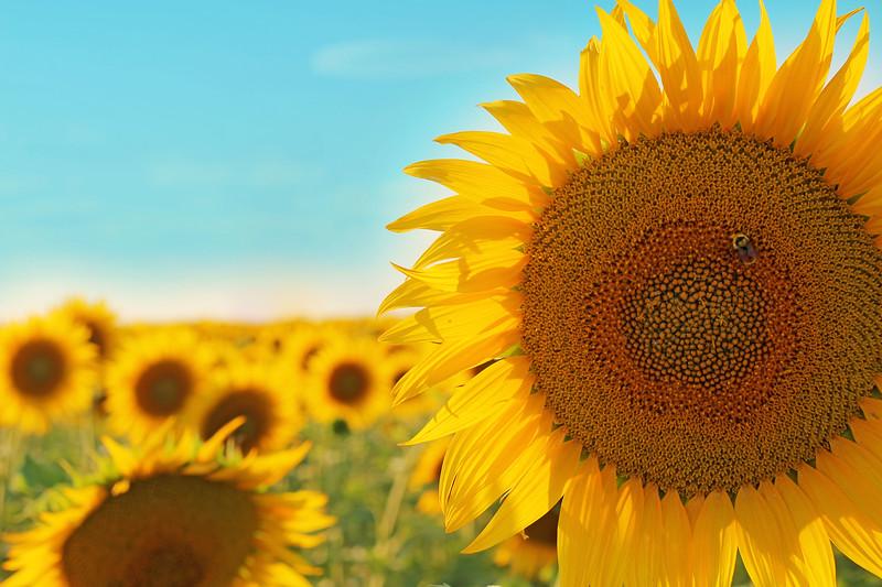 Sunflower Fields Forever.....