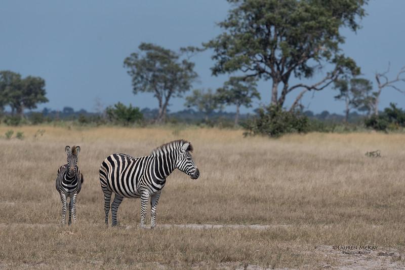 Burchell's Zebra, Savuti, Chobe NP, Botswana, May 2017-7.jpg