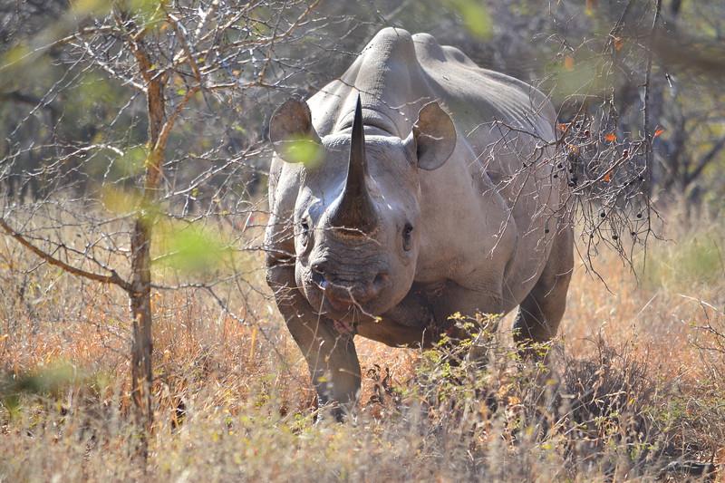 Approaching Black Rhino