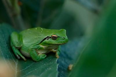 Mediterranean Tree Frog (Ranita Merdional)