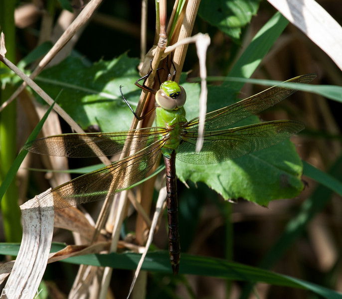 08/11.  CSW.  I rarely get a shot of a Green Darner resting.