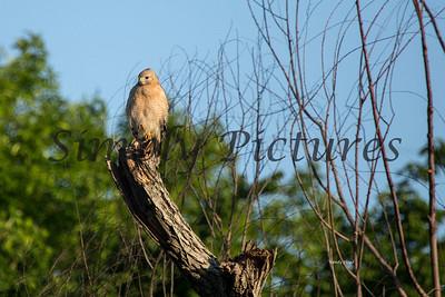 Hawk  006